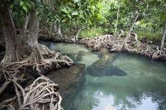 有美洲红树森林的惊人的透明的鲜绿色运河 库存图片