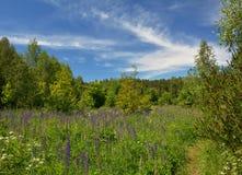 有羽扇豆的美丽的开花的草甸在森林里开花 免版税库存图片