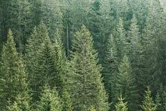有老云杉、冷杉和杉树的绿色具球果森林 免版税库存照片