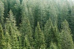 有老云杉、冷杉和杉树的绿色具球果森林 免版税图库摄影