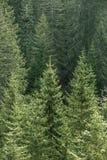 有老云杉、冷杉和杉树的绿色具球果森林 免版税库存图片