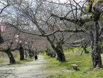 有老佐仓树的装饰庭院在开花的期间 库存图片
