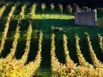 有老农厂房子废墟的葡萄园在秋天 免版税库存照片