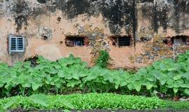 有老房子的芋头植物在昆仑岛,越南 图库摄影