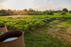 有老桶的土豆种植园 免版税库存照片