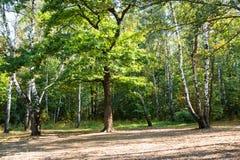 有老橡木和桦树的草甸在秋天 库存照片