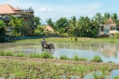 有耕地机的巴厘岛农夫 库存照片