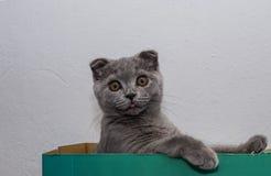 有耳的小猫砍 免版税库存图片