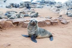 有耳的布朗海狗殖民地在海角十字架,纳米比亚,南非的, 库存照片