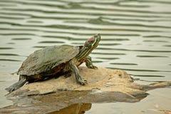 有耳的摆在的红色岩石滑子乌龟 库存图片