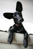 有耳的狗 库存图片