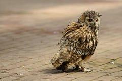 有耳的猫头鹰短小 库存照片