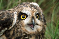 有耳的猫头鹰短小 免版税图库摄影