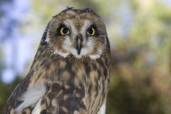 有耳的猫头鹰纵向短小 库存图片
