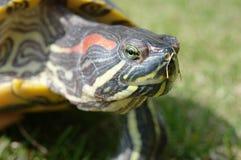 有耳的红色乌龟 图库摄影