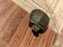 有耳的红色滑子乌龟 免版税库存照片