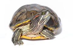 有耳的红色滑子乌龟 库存图片