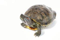有耳的红色滑子乌龟 免版税库存图片