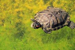 有耳的红色滑子乌龟 库存照片