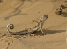 有耳的蟾蜍(Phrynocephalus mystaceus)在卡尔梅克共和国的沙子。 库存图片
