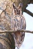 有耳的长的猫头鹰结构树 免版税库存照片