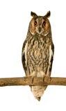 有耳的长的猫头鹰 库存图片