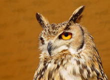 有耳的长的猫头鹰 图库摄影