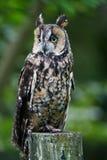 有耳的长的猫头鹰 免版税库存图片