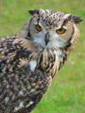 有耳的长的猫头鹰 免版税库存照片