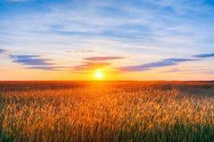 有耳的麦田,在日落黎明日出的夏天多云天空 库存照片