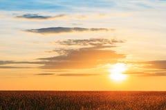 有耳的麦田,在日落黎明日出的夏天多云天空 Sk 免版税库存图片