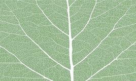 有肋骨的叶子 免版税图库摄影