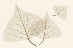 有肋骨的叶子 免版税库存图片
