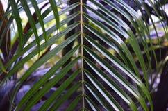 有肋骨,向上指向稀薄的热带叶子 免版税图库摄影