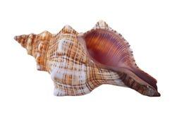 有肋骨Cantharus贝壳 库存图片