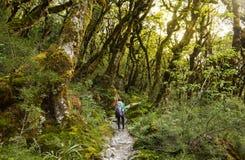 有背包的妇女远足者走在溃败的当地山毛榉森林里的 库存图片