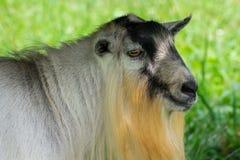 有胡子的公山羊特写镜头  库存照片