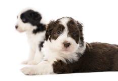 有胡子的大牧羊犬小狗, 6个星期年纪,位于 免版税库存图片
