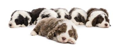 有胡子的大牧羊犬小狗, 6个星期年纪,位于 图库摄影