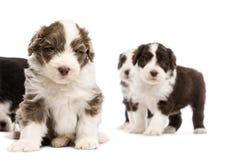 有胡子的大牧羊犬小狗, 6个星期年纪,坐 免版税库存图片