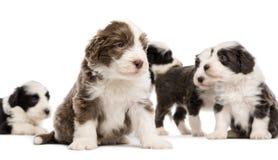 有胡子的大牧羊犬小狗, 6个星期年纪,坐 免版税库存照片