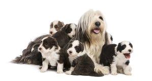 有胡子的大牧羊犬小狗, 6个星期年纪 免版税库存图片