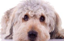 有胡子的大牧羊犬注视哀伤 免版税库存图片