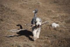 有胡子的大牧羊犬用一个军事威胁 库存图片