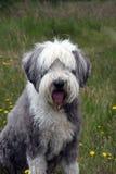 有胡子的大牧羊犬 库存照片