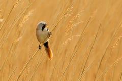 有胡子的河床被栖息的芦苇reedling的山雀 库存照片