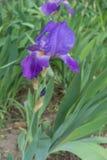 有胡子的虹膜笔直词根有紫罗兰色花的 图库摄影