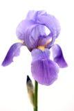有胡子的虹膜紫色 免版税库存图片
