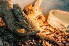 有胡子的蜥蜴坐断枝 库存照片