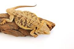 有胡子的龙蜥蜴 免版税库存图片